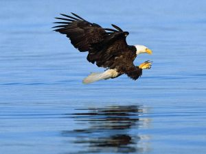 Bald Eagles Fishing on the lake