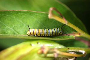 Monarch larva on milkweed